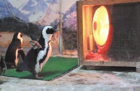 成都动物园宝宝们过冬:小猴贴身烤背烤肚皮,企鹅也要取暖器